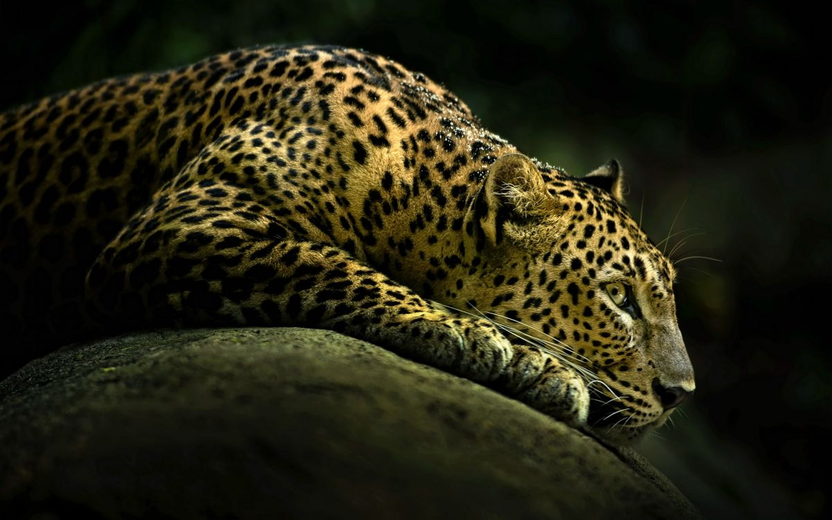 Фото бесплатно леопард, кот, дикий - на рабочий стол