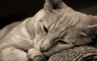 Фото бесплатно кот, серый, окрас