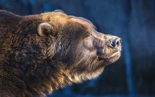 Заставки медведь, голова, морда