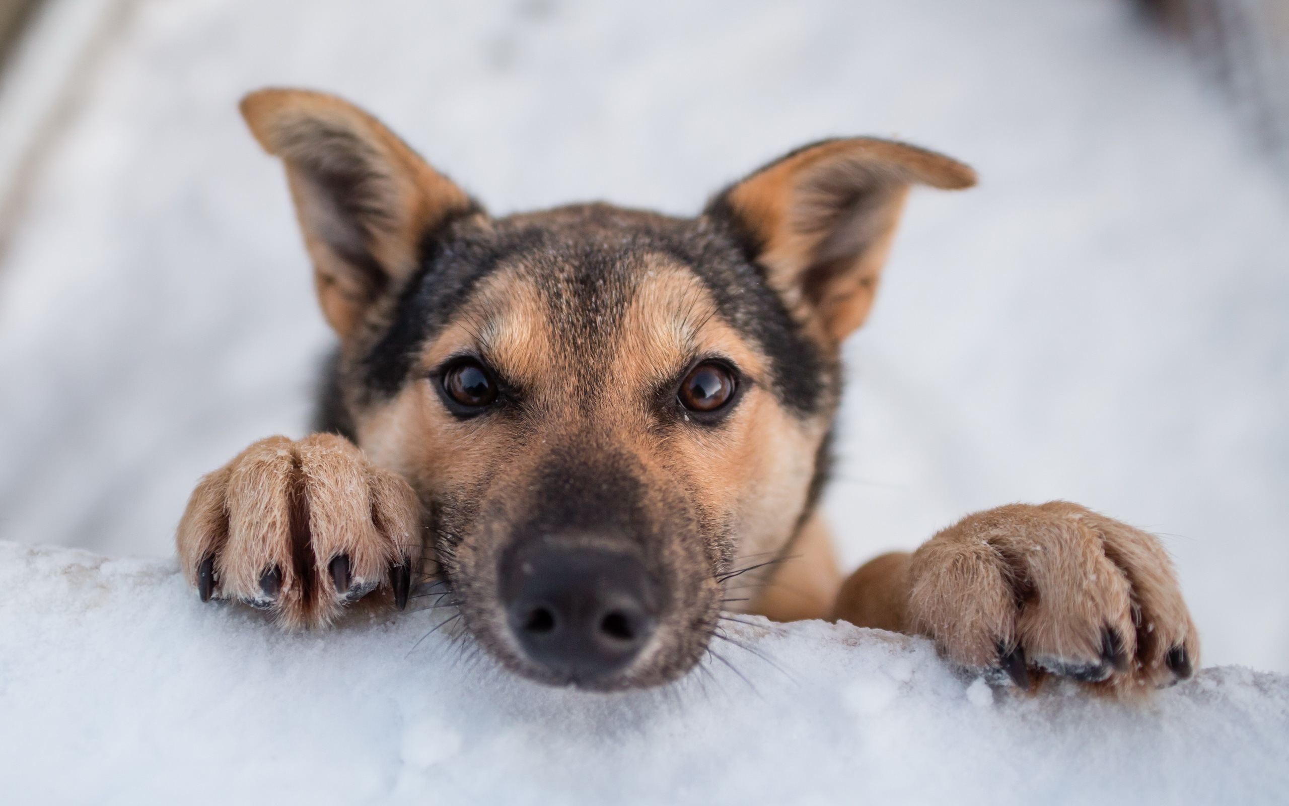 пес, нос, снег