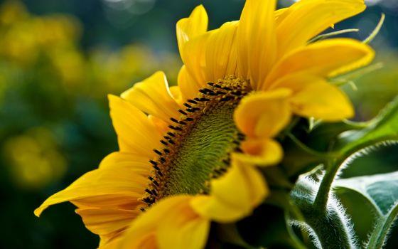 Фото бесплатно ромашка, желтая, лепестки