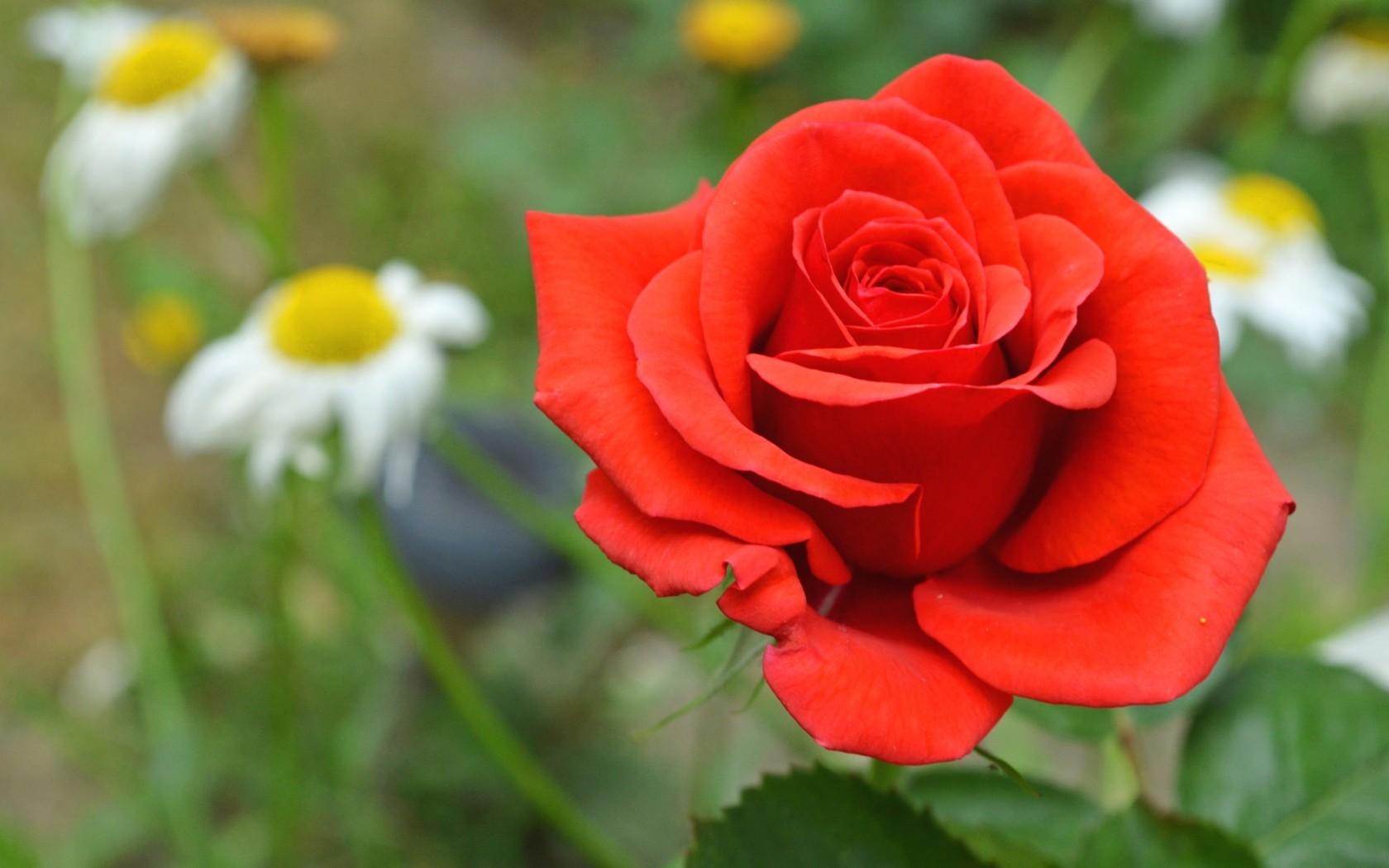 роза, лепестки, красные