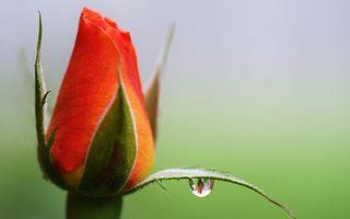 Заставки роза, лепестки, капля, вода, бутон, шипы, цветы