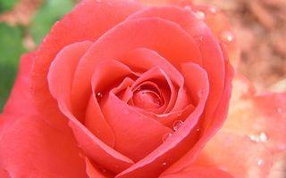 Фото бесплатно розовая, роза, лепестки, капли, роса, макро, цветы