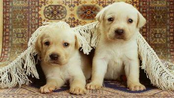 Фото бесплатно щенки, белые, морды