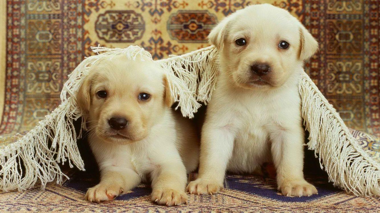Фото бесплатно щенки, белые, морды - на рабочий стол