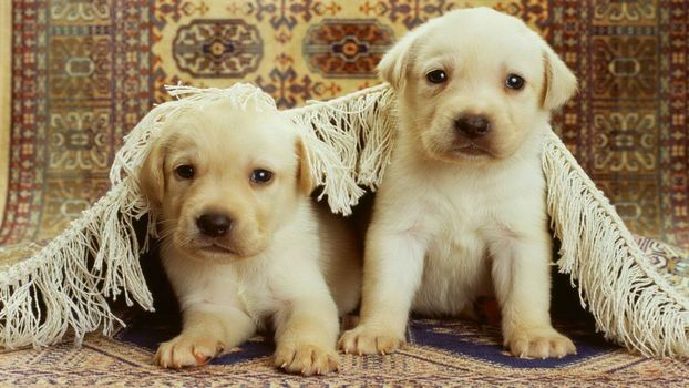 Photo free puppies, white, muzzles