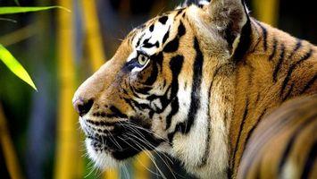 Бесплатные фото тигр,шерсть,окрас,голова,уши,нос,рот