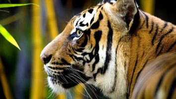 Photo free tiger, wool, color