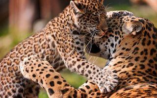 Бесплатные фото леопард,котенок,кошка,семья,ласка,забота,лапы