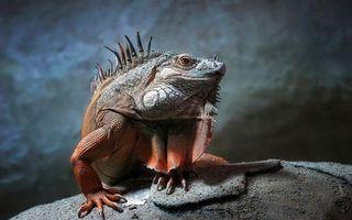 Бесплатные фото ящерица,хамелеон,глаза,лапы,иголки,рептилии