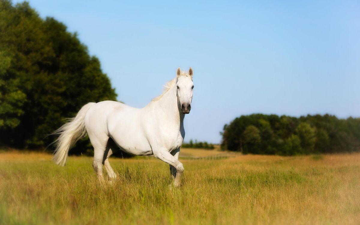 Обои лошадь, белая, морда, грива, хвост, трава, деревья картинки на телефон
