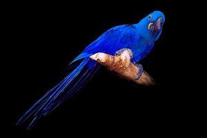 Бесплатные фото Hyacinth Macaw,попугай,птица,чёрный фон