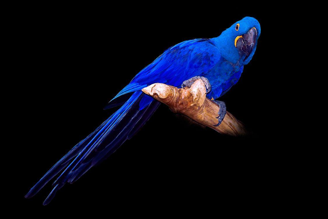 Фото бесплатно Hyacinth Macaw, попугай, птица, чёрный фон, птицы