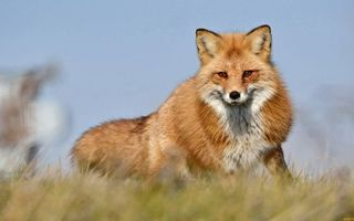 Бесплатные фото лиса,рыжая,шерсть,морда,хвост,трава