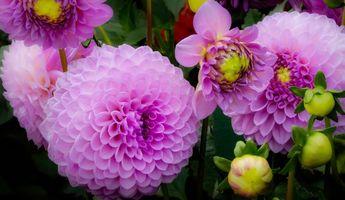 Бесплатные фото георгины,цветы,макро