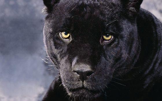 Photo free panther, muzzle, yellow
