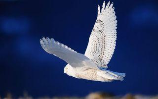 Фото бесплатно полярная сова, крылья, хвост, перья, полет