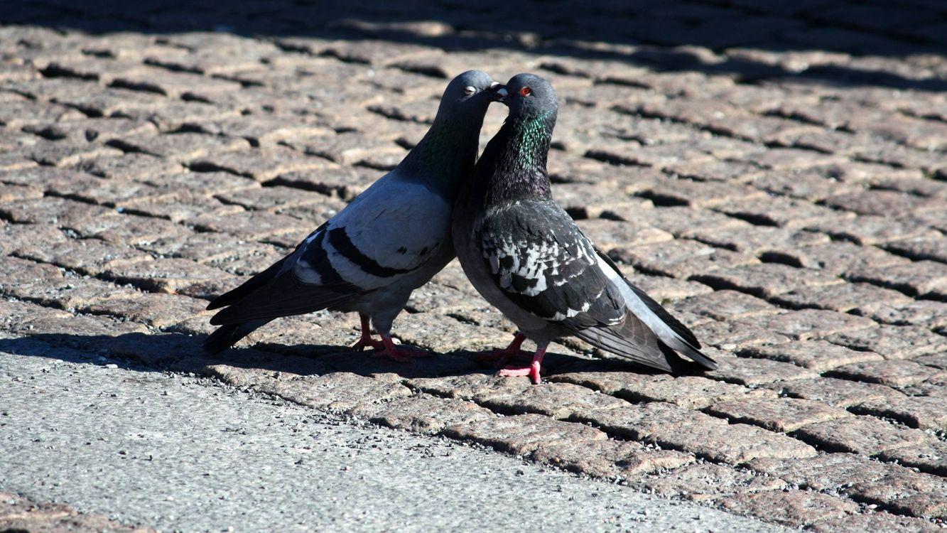 Фото бесплатно голуби, клювы, крылья, хвосты, перья, лапки, брусчатка, птицы