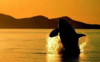 Бесплатные фото море,касатка,плавники,хищник,прыжок,брызги,закат