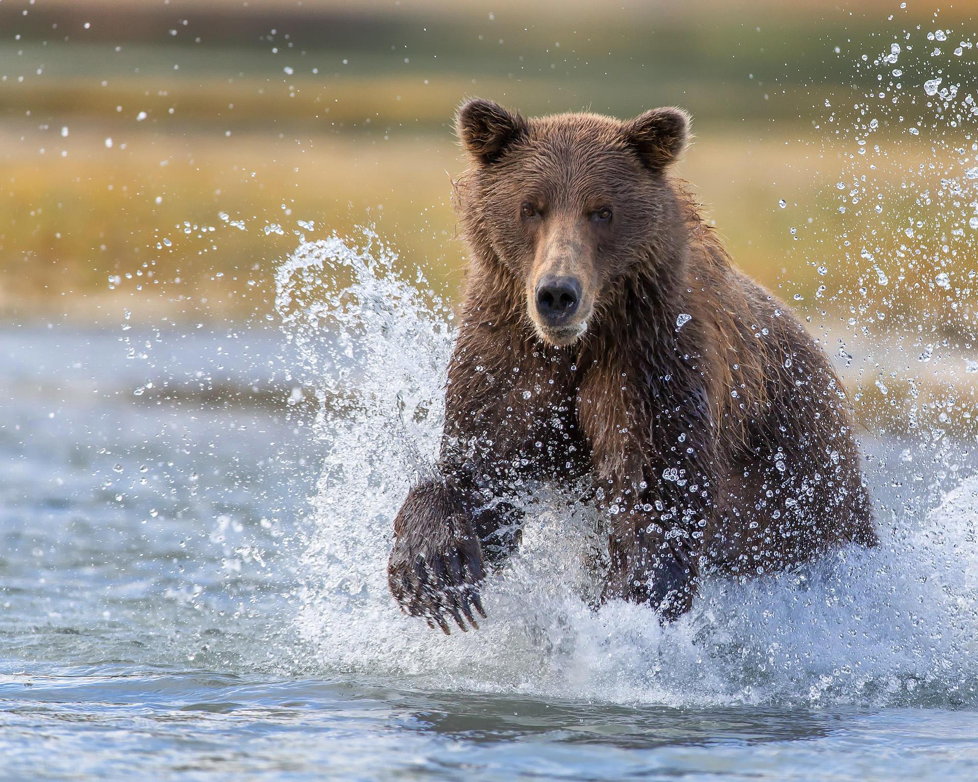 Обои медведь, животное, вода, брызги