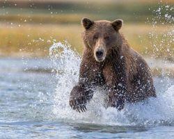 Бесплатные фото медведь,животное,вода,брызги