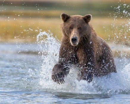 Заставки медведь, животное, вода