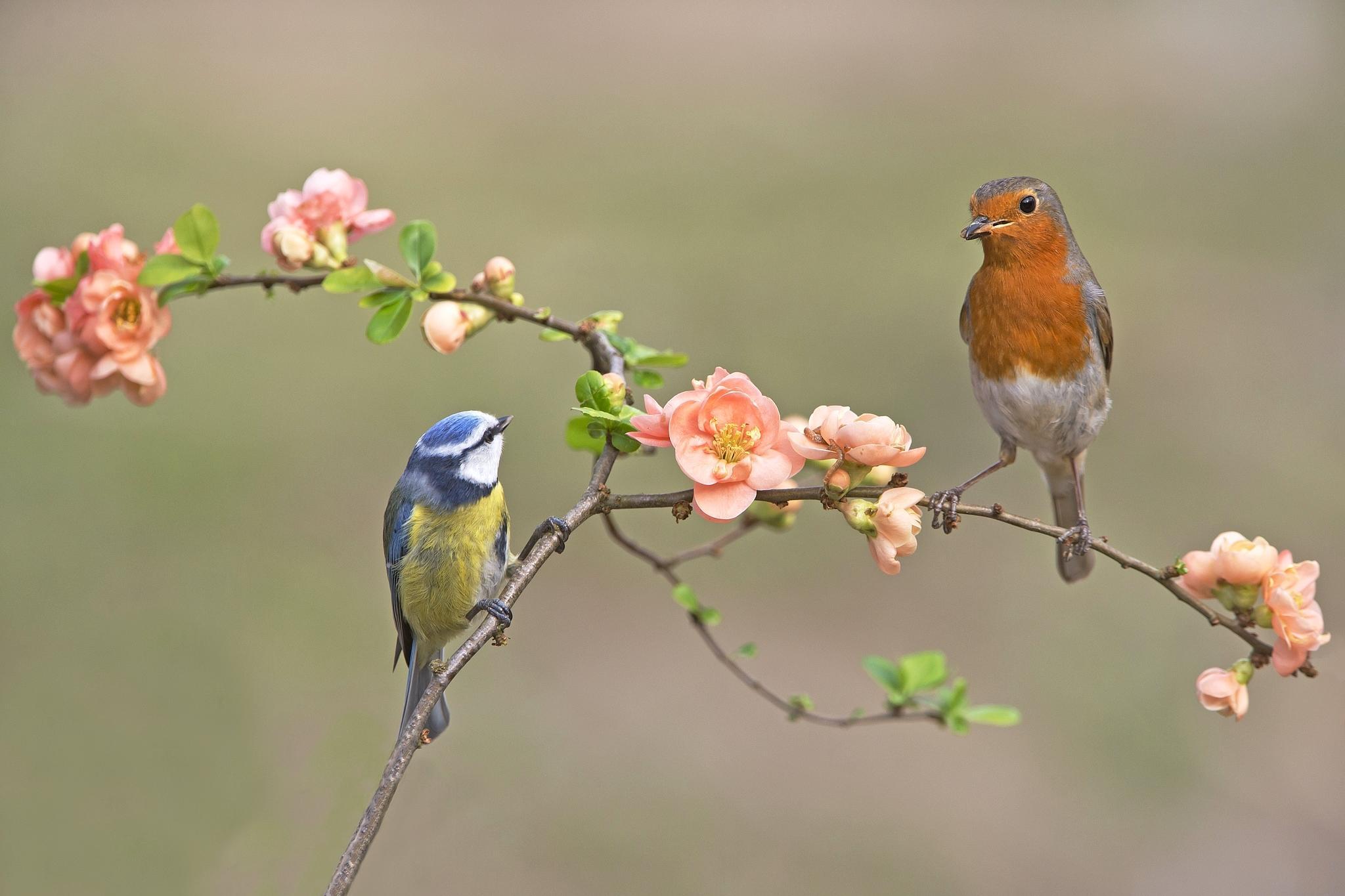 Обои птицы, ветка, синица, зарянка