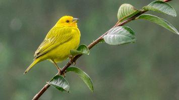Photo free bird, branch, Golden goldfinch