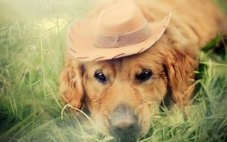 Заставки трава, собака, шляпа