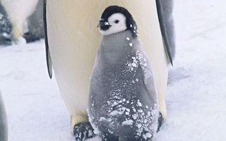 Бесплатные фото пингвины,птенец,клюв,крылья,пух,снег