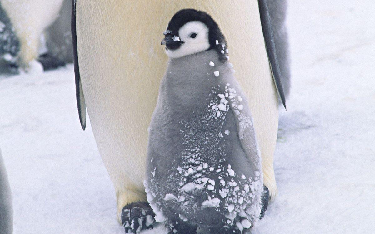 Фото бесплатно пингвины, птенец, клюв, крылья, пух, снег, птицы