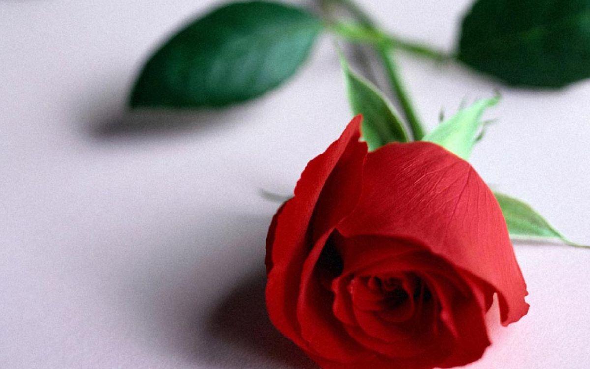 Фото бесплатно роза, лепестки, красные, листья, стебель, зеленые, цветы