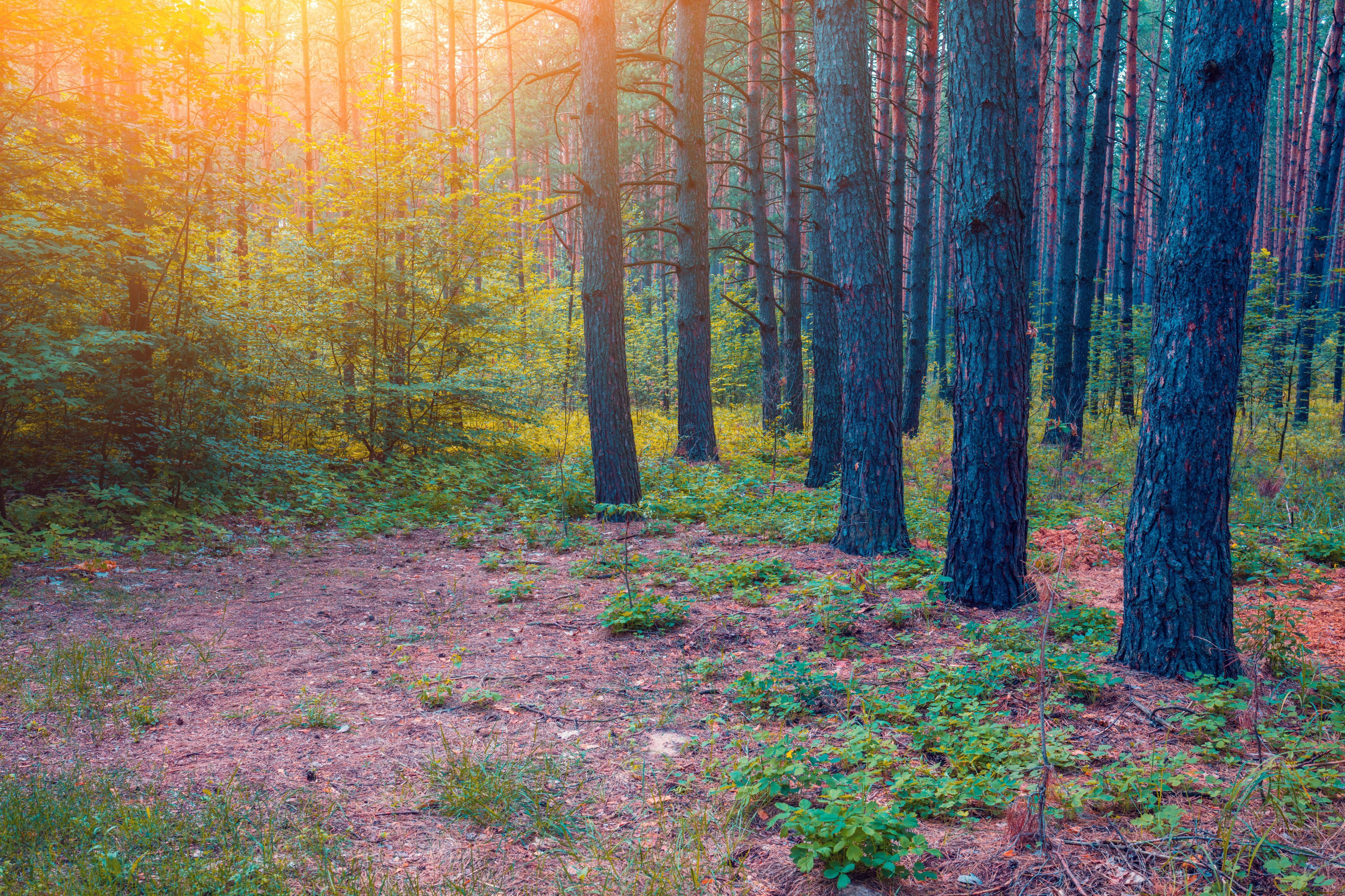 обои лес, деревья, закат, природа картинки фото