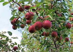 Photo free branches, apples, leaves
