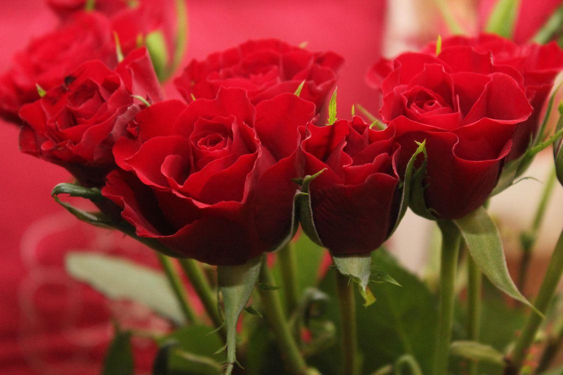 Фото цветы, розы смотреть бесплатно