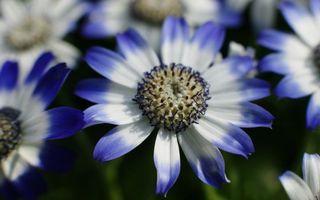 Фото бесплатно цветочки, лепестки, бело-синие, пестики, тычинки, заставка