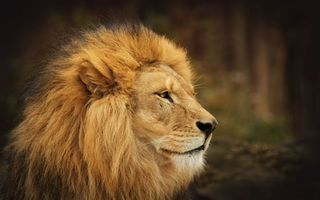 Photo free lion, king of beasts, muzzle