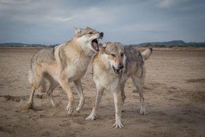 Фото бесплатно волки, хищники, животные