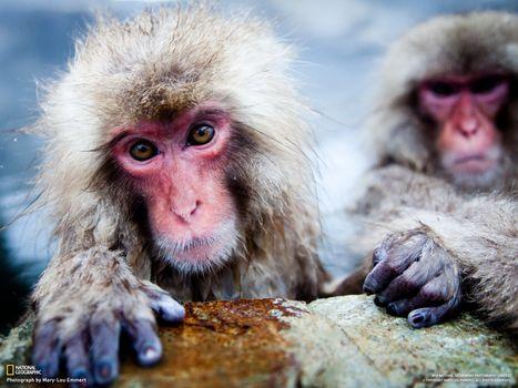 Бесплатные фото обезьяны,national geographic,розовая,мордочка,мокрые,камнь,животные
