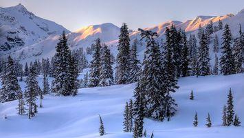 Фото бесплатно ели, деревья, снег