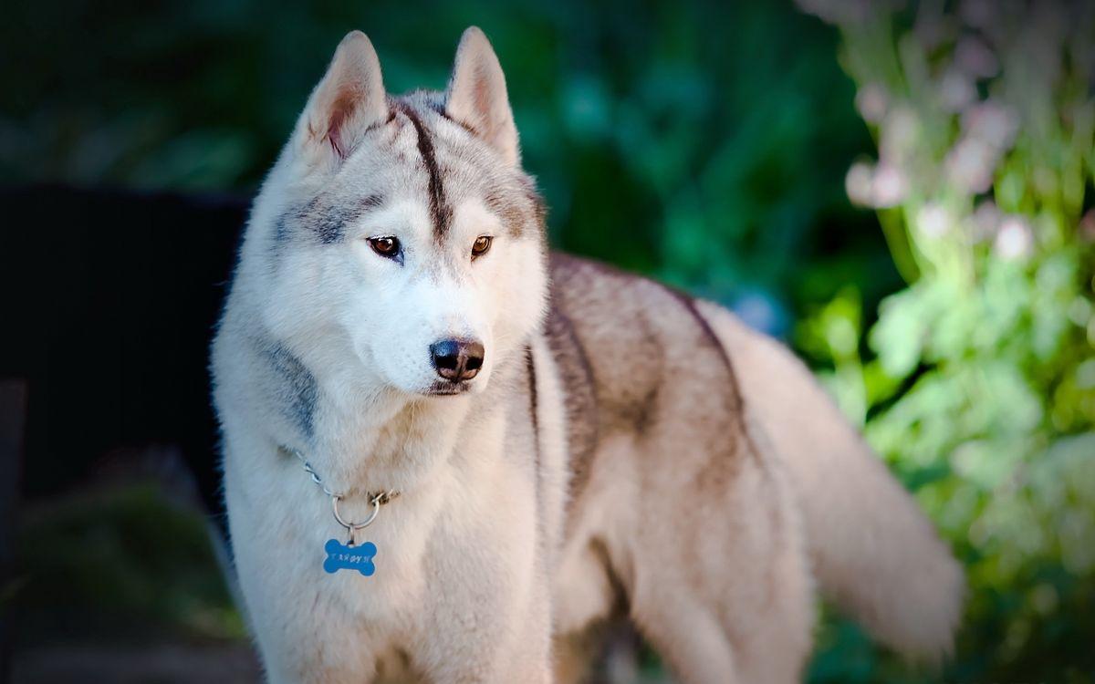 Фото бесплатно хаски, серый, пес - на рабочий стол