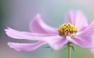 Фото бесплатно лепестки, розовые, середина
