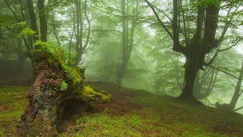 Бесплатные фото лес,деревья,коряга,мох,листва,туман,природа