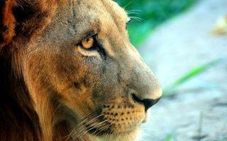 Заставки лев, морда, усы