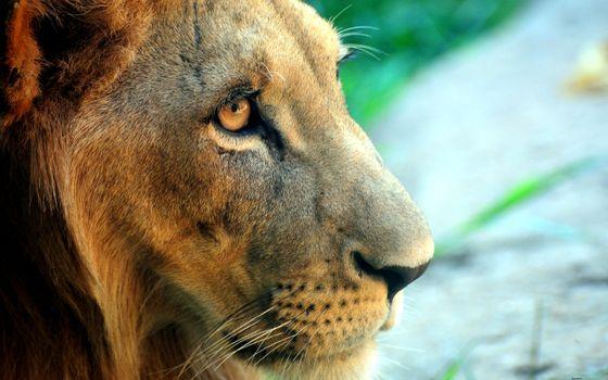 Бесплатные фото лев,морда,усы,нос,глаза,взгляд,африка,жизнь,хищники,животные