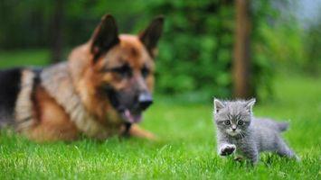 Фото бесплатно пес, кот, овчарка