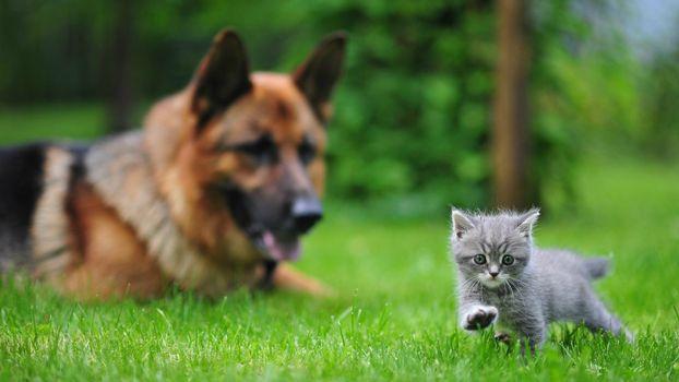Заставки пес, кот, овчарка