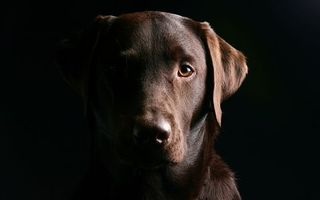 Photo free dog, wool, labrador