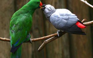 Бесплатные фото попугаи,крылья,перья,клювы,глаза,пара,ветка. дерево